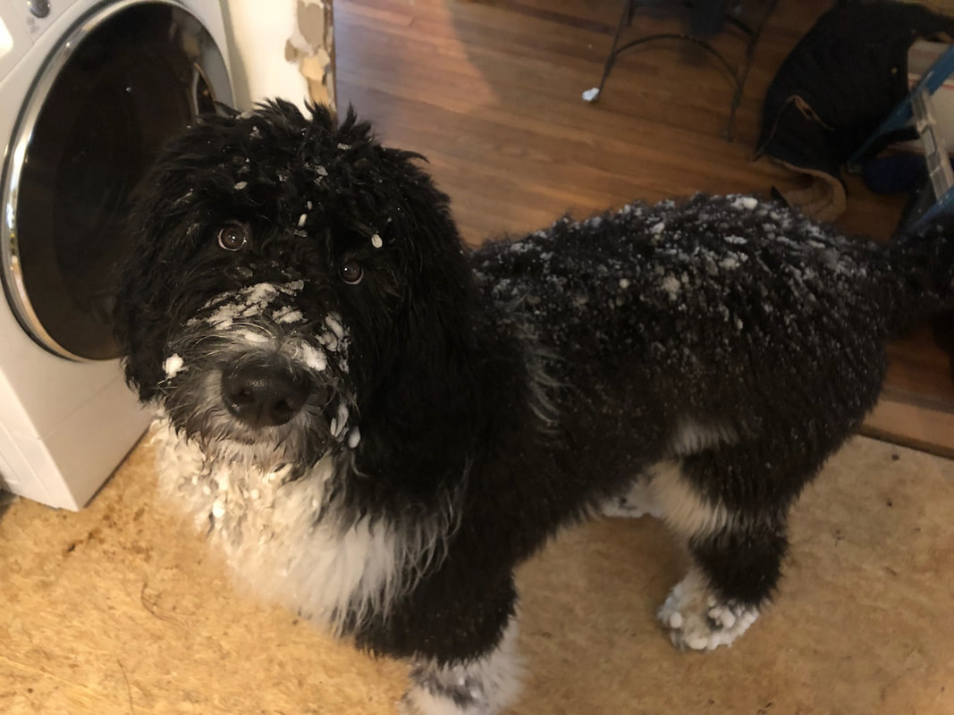 Nan's 6-1-18 Newfiedoodles! - MOORE FAMILY NEWFOUNDLANDS & MORE