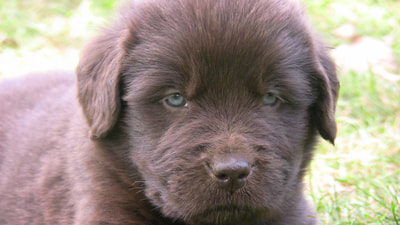 Claira's Pups 8-26-17 - MOORE FAMILY NEWFOUNDLANDS & MORE